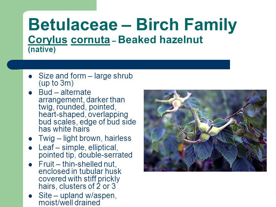 Betulaceae – Birch Family Corylus cornuta – Beaked hazelnut (native)
