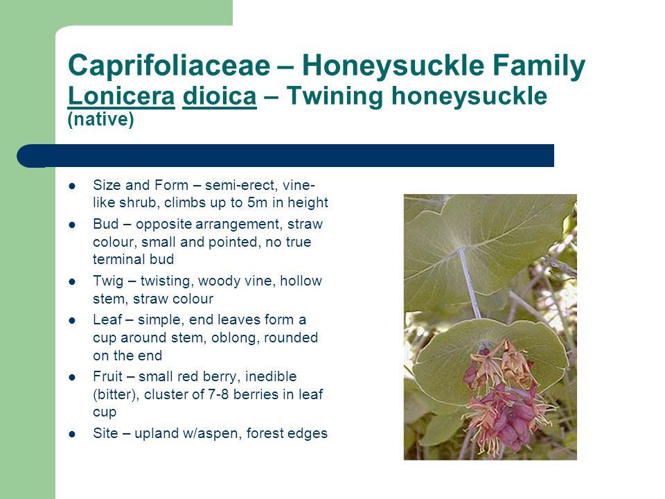 Caprifoliaceae – Honeysuckle Family Lonicera dioica – Twining honeysuckle (native)