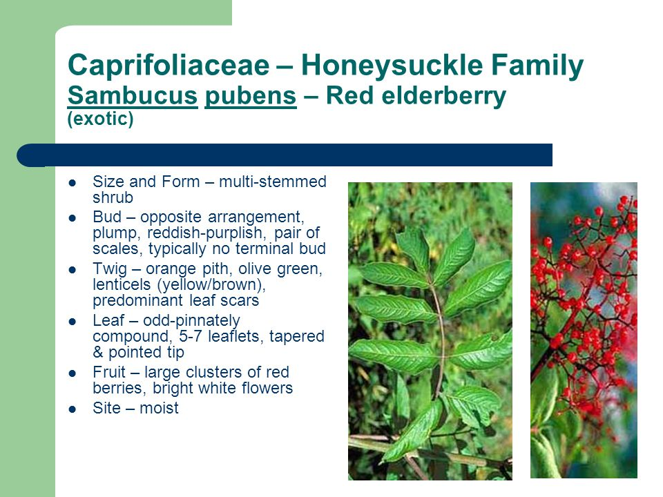 Caprifoliaceae – Honeysuckle Family Sambucus pubens – Red elderberry (exotic)