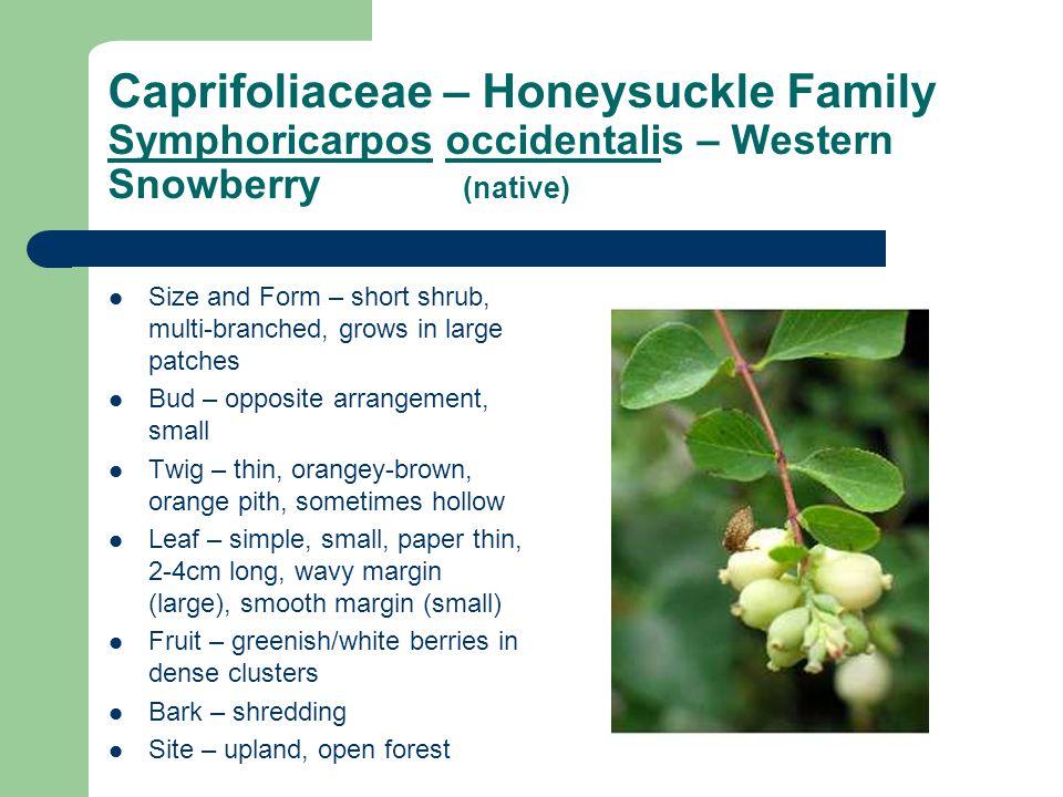 Caprifoliaceae – Honeysuckle Family Symphoricarpos occidentalis – Western Snowberry (native)