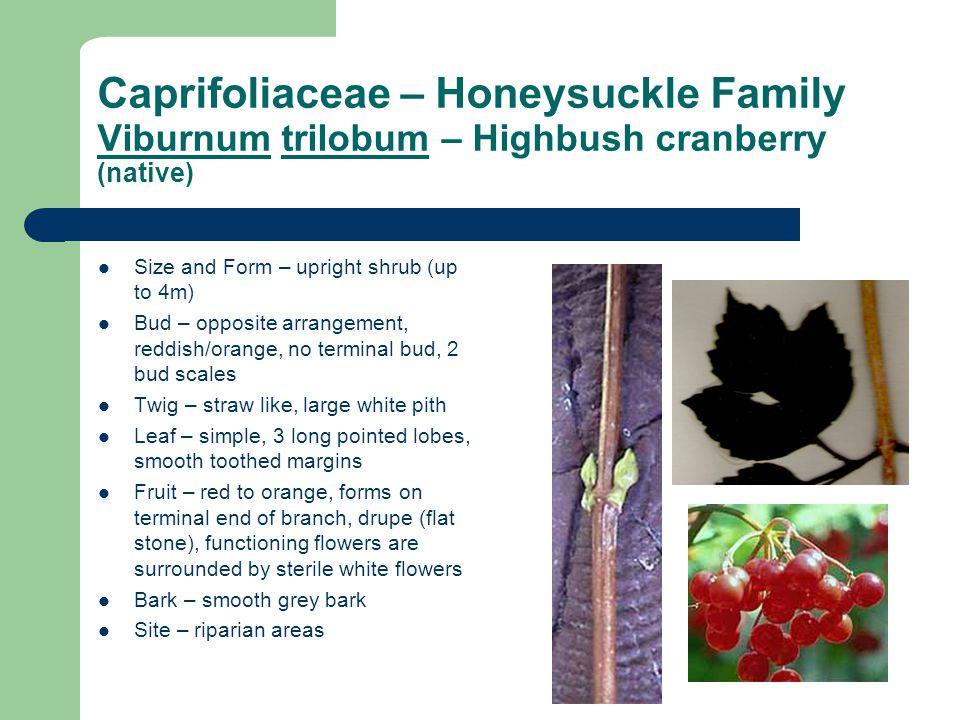 Caprifoliaceae – Honeysuckle Family Viburnum trilobum – Highbush cranberry (native)