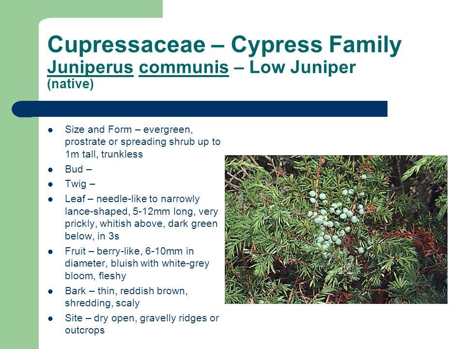Cupressaceae – Cypress Family Juniperus communis – Low Juniper (native)