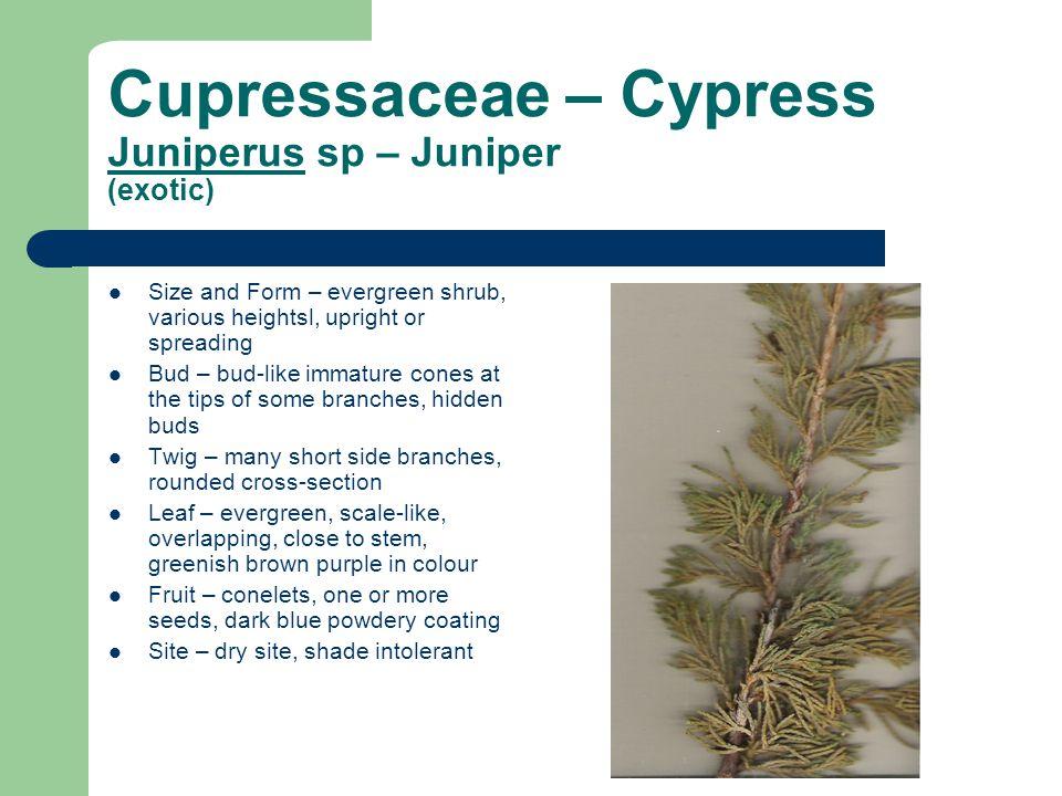 Cupressaceae – Cypress Juniperus sp – Juniper (exotic)
