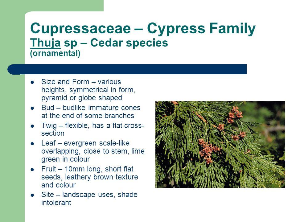 Cupressaceae – Cypress Family Thuja sp – Cedar species (ornamental)