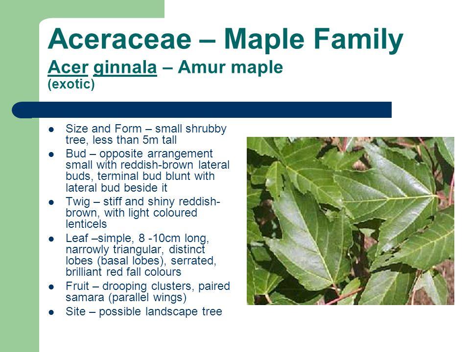 Aceraceae – Maple Family Acer ginnala – Amur maple (exotic)