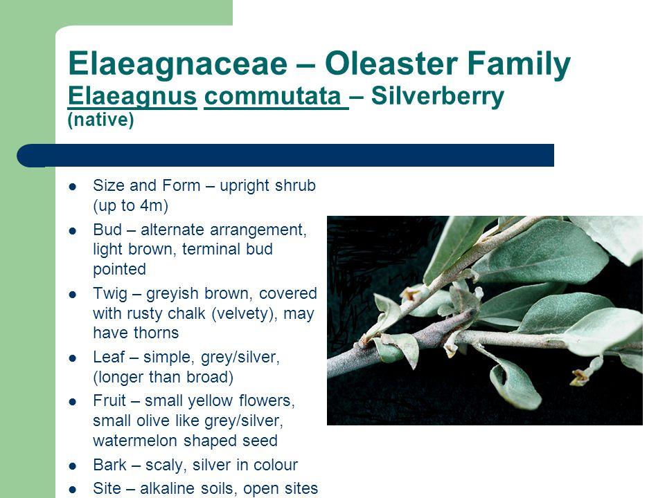 Elaeagnaceae – Oleaster Family Elaeagnus commutata – Silverberry (native)