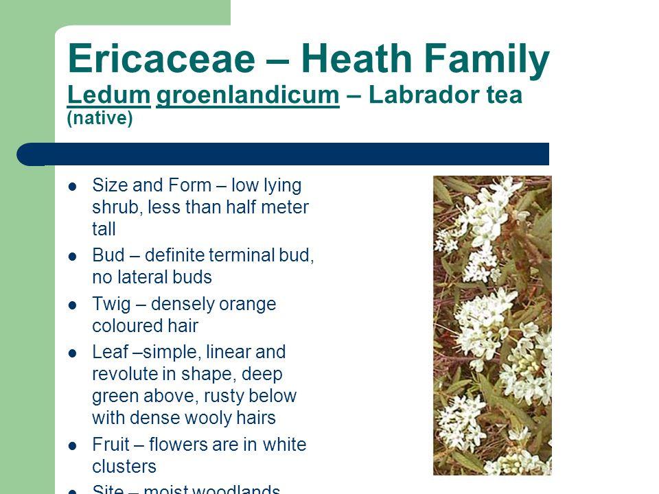 Ericaceae – Heath Family Ledum groenlandicum – Labrador tea (native)