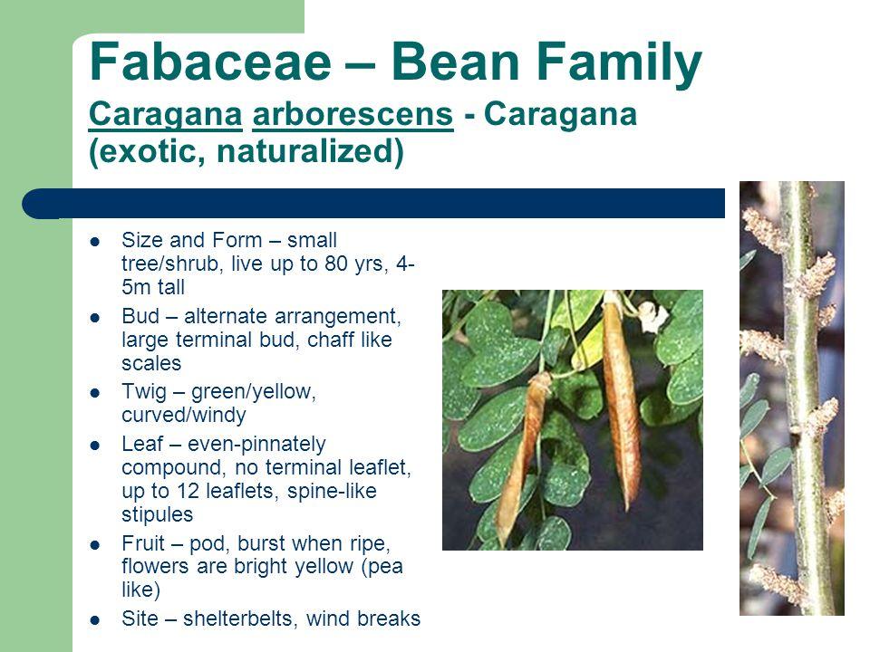 Fabaceae – Bean Family Caragana arborescens - Caragana (exotic, naturalized)