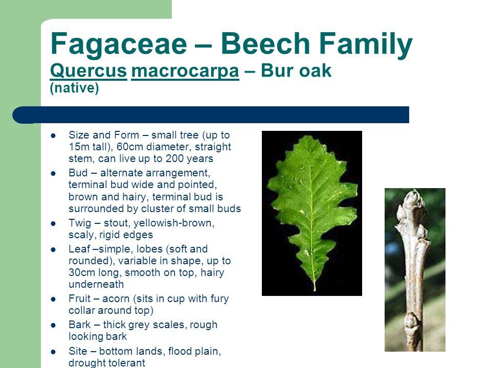 Fagaceae – Beech Family Quercus macrocarpa – Bur oak (native)