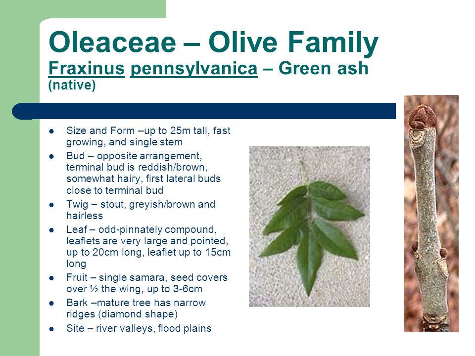 Oleaceae – Olive Family Fraxinus pennsylvanica – Green ash (native)