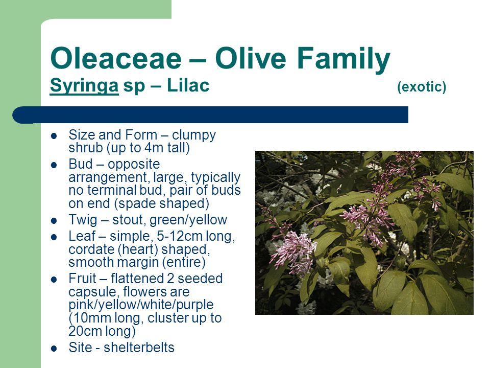 Oleaceae – Olive Family Syringa sp – Lilac (exotic)