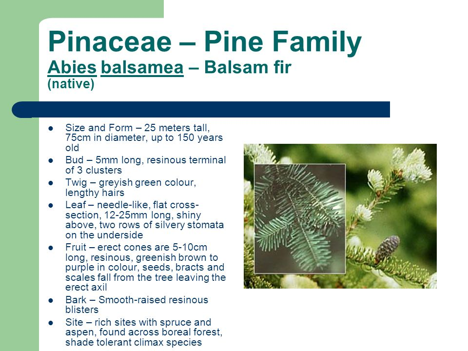 Pinaceae – Pine Family Abies balsamea – Balsam fir (native)