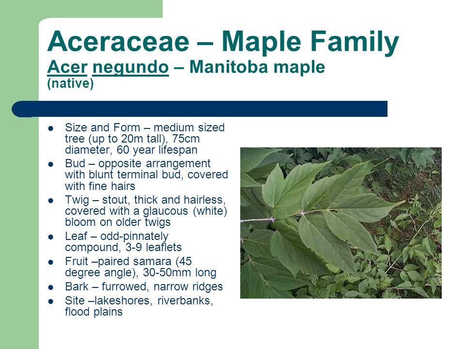 Aceraceae – Maple Family Acer negundo – Manitoba maple (native)
