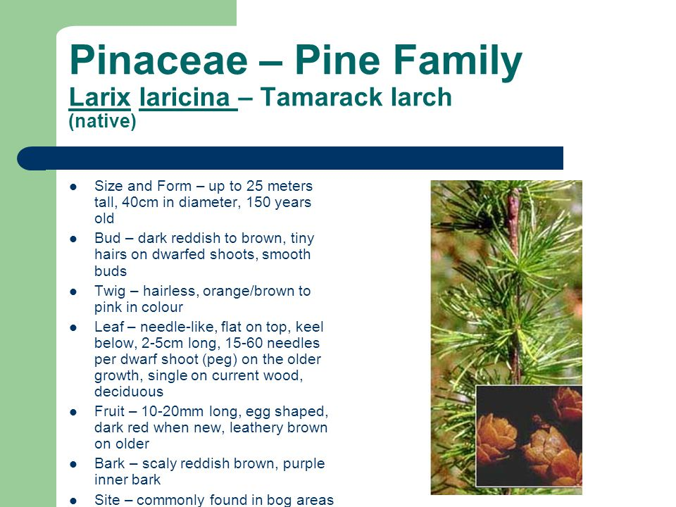 Pinaceae – Pine Family Larix laricina – Tamarack larch (native)