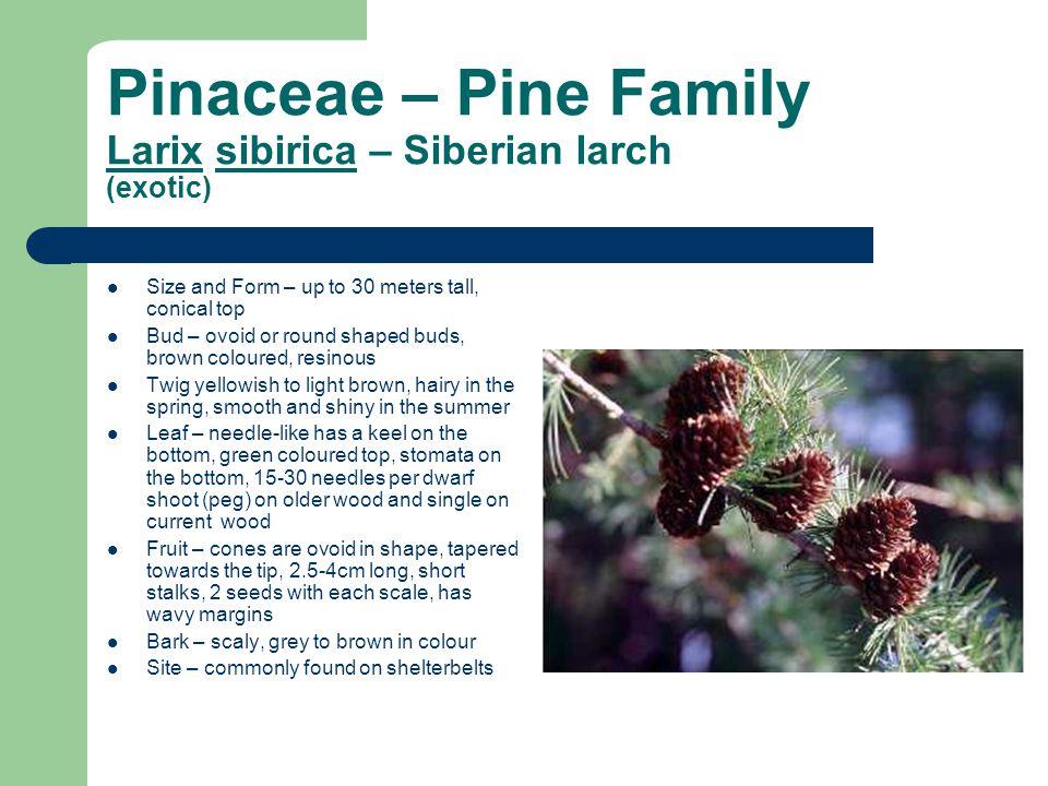 Pinaceae – Pine Family Larix sibirica – Siberian larch (exotic)
