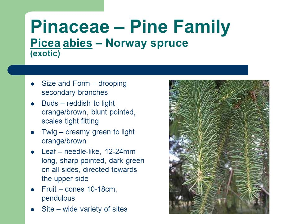 Pinaceae – Pine Family Picea abies – Norway spruce (exotic)