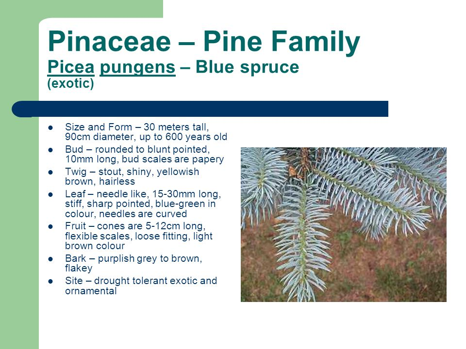 Pinaceae – Pine Family Picea pungens – Blue spruce (exotic)