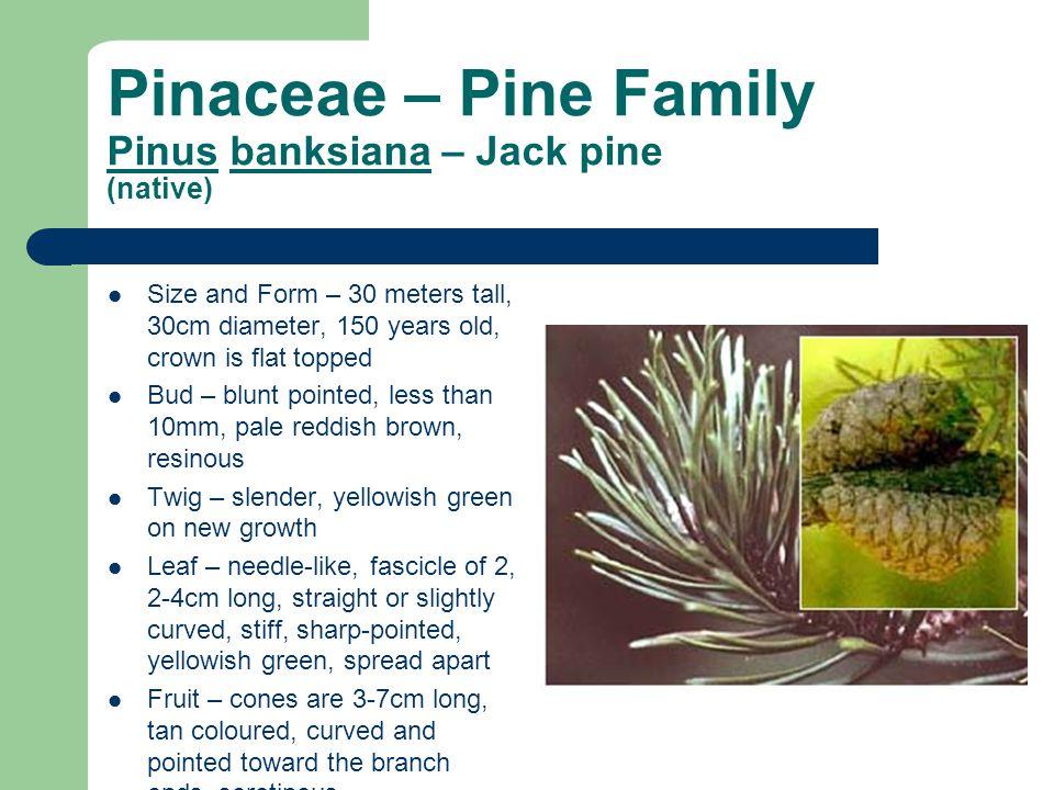 Pinaceae – Pine Family Pinus banksiana – Jack pine (native)