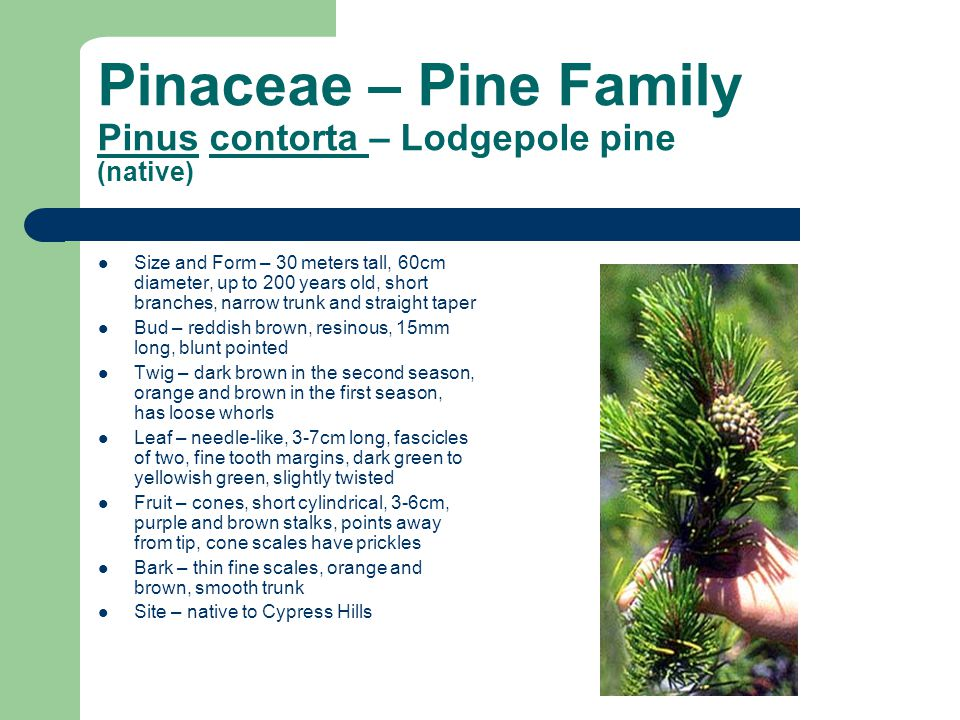 Pinaceae – Pine Family Pinus contorta – Lodgepole pine (native)