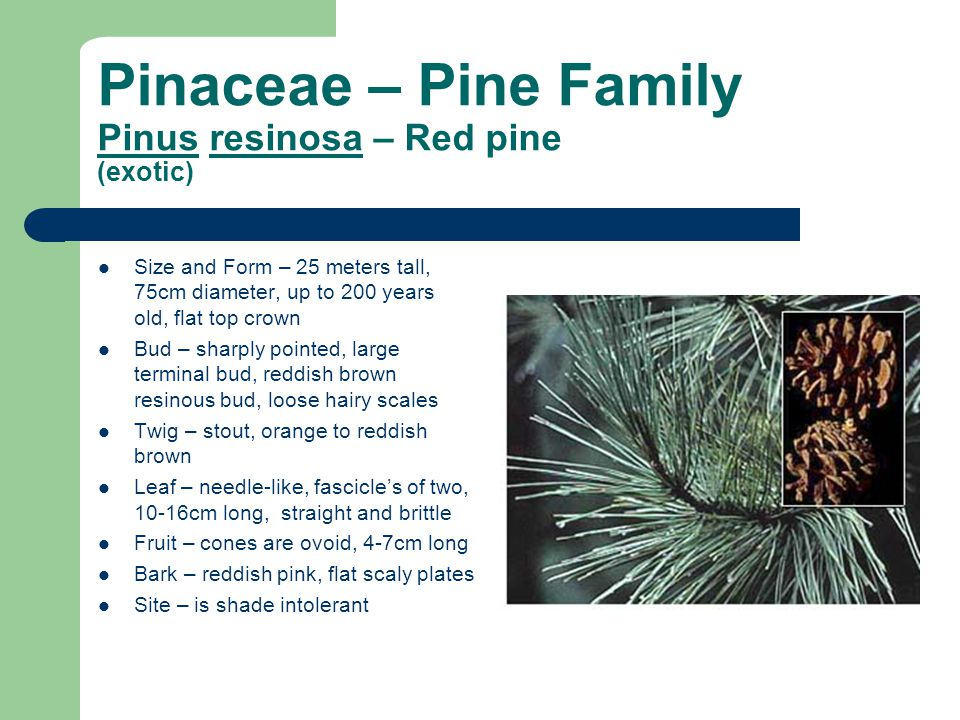 Pinaceae – Pine Family Pinus resinosa – Red pine (exotic)
