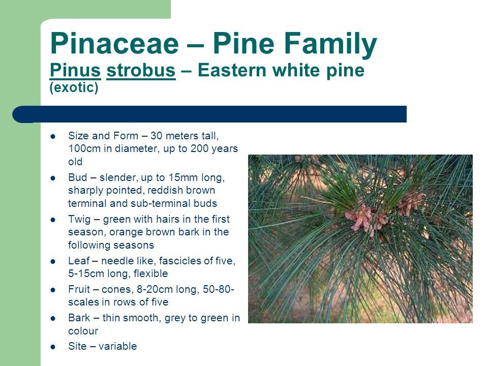 Pinaceae – Pine Family Pinus strobus – Eastern white pine (exotic)