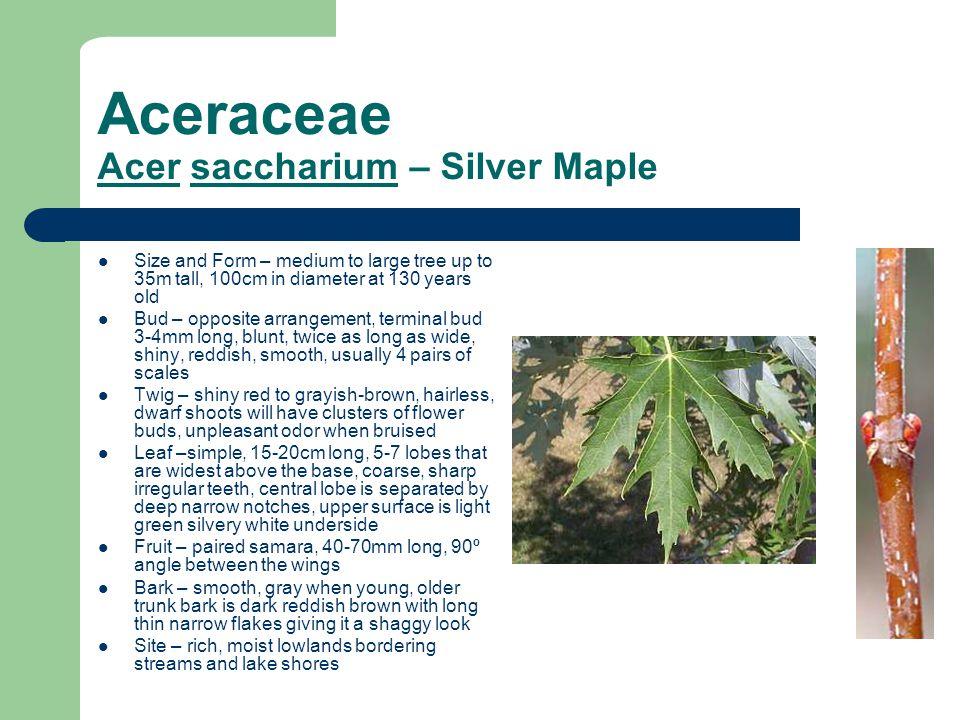 Aceraceae Acer saccharium – Silver Maple