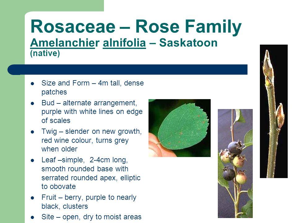 Rosaceae – Rose Family Amelanchier alnifolia – Saskatoon (native)