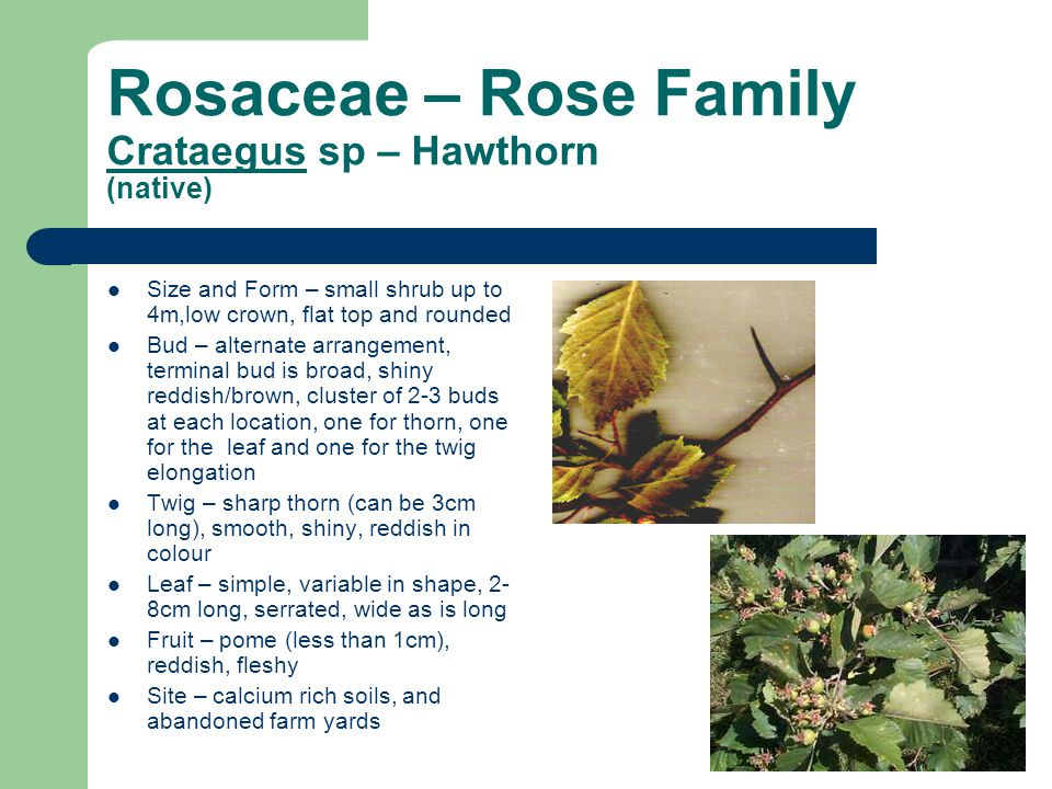 Rosaceae – Rose Family Crataegus sp – Hawthorn (native)