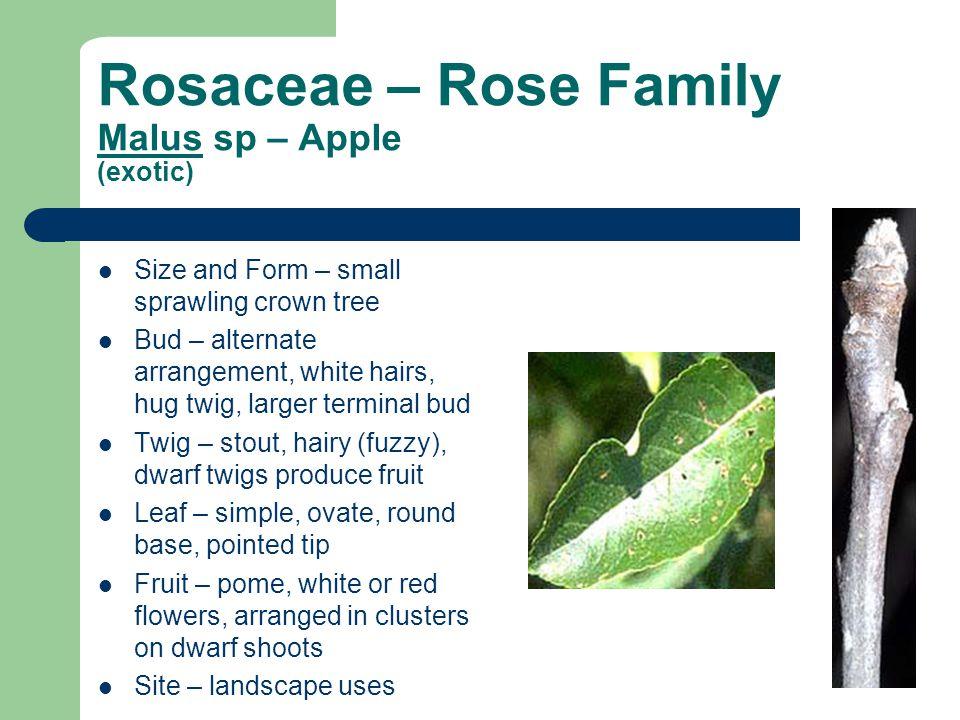 Rosaceae – Rose Family Malus sp – Apple (exotic)