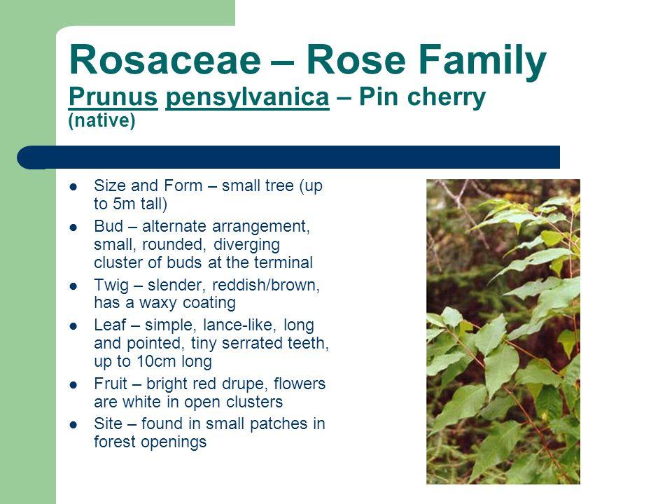 Rosaceae – Rose Family Prunus pensylvanica – Pin cherry (native)