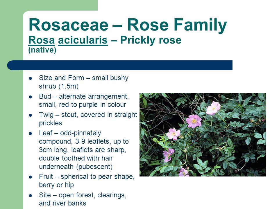 Rosaceae – Rose Family Rosa acicularis – Prickly rose (native)