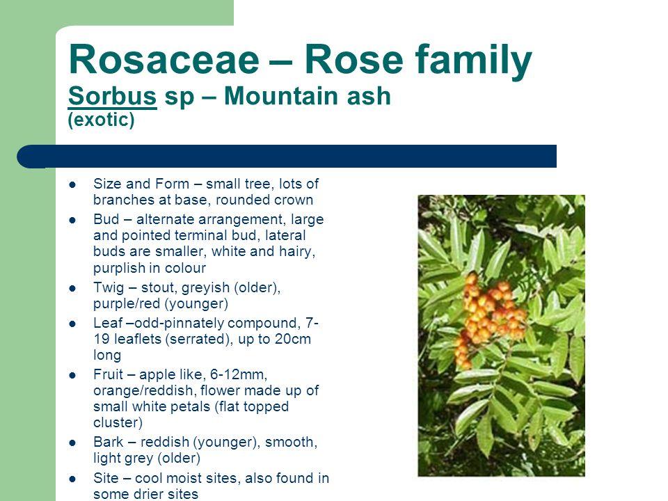 Rosaceae – Rose family Sorbus sp – Mountain ash (exotic)