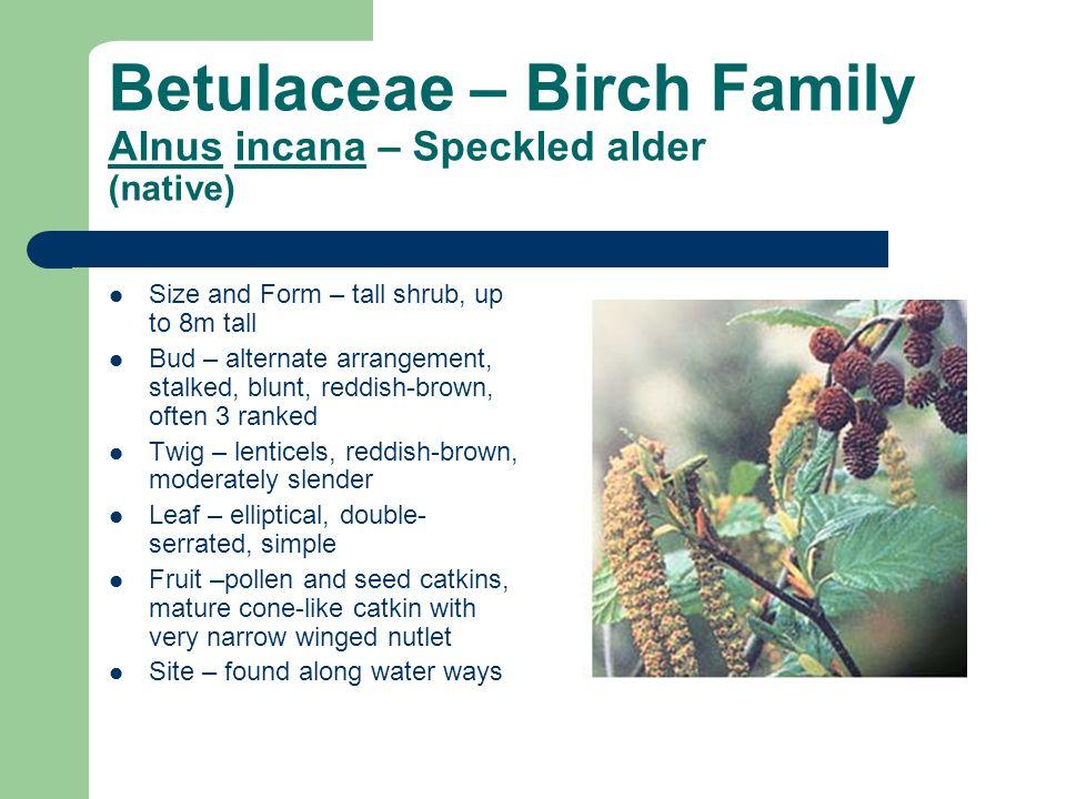 Betulaceae – Birch Family Alnus incana – Speckled alder (native)