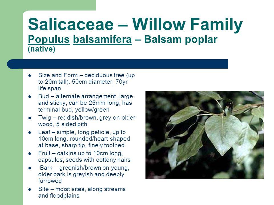 Salicaceae – Willow Family Populus balsamifera – Balsam poplar (native)