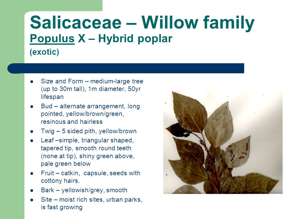 Salicaceae – Willow family Populus X – Hybrid poplar (exotic)