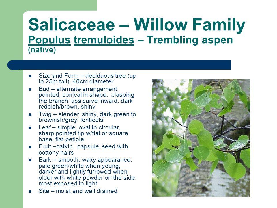Salicaceae – Willow Family Populus tremuloides – Trembling aspen (native)