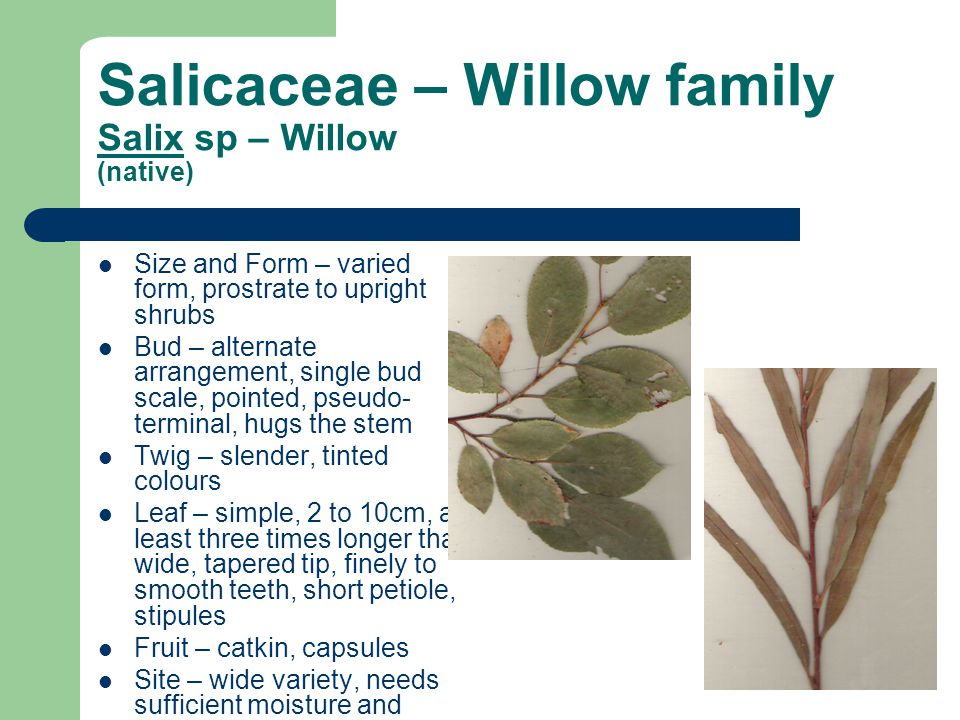 Salicaceae – Willow family Salix sp – Willow (native)