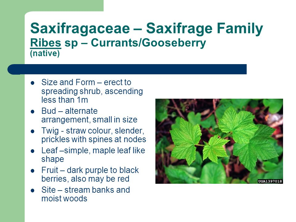 Saxifragaceae – Saxifrage Family Ribes sp – Currants/Gooseberry (native)