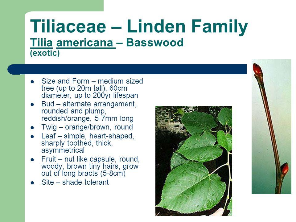 Tiliaceae – Linden Family Tilia americana – Basswood (exotic)