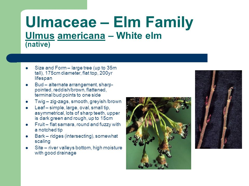 Ulmaceae – Elm Family Ulmus americana – White elm (native)
