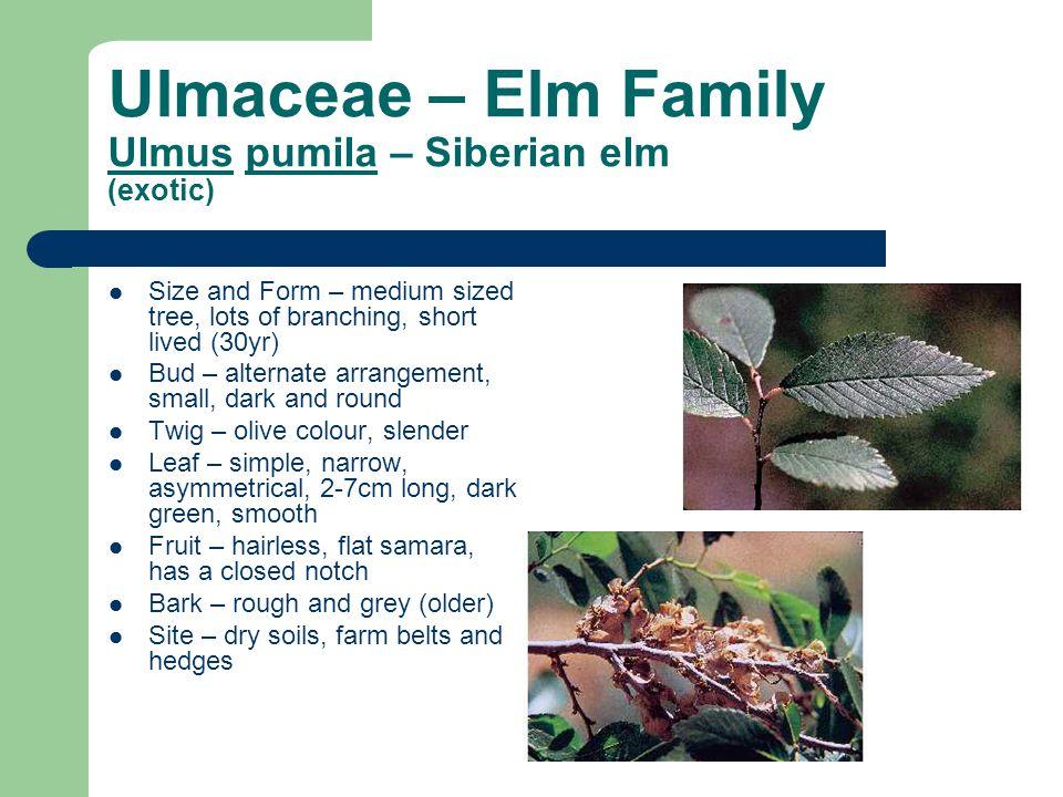 Ulmaceae – Elm Family Ulmus pumila – Siberian elm (exotic)