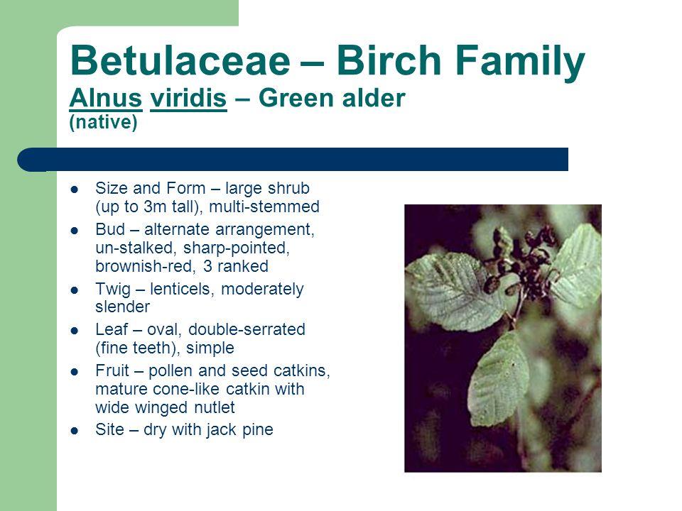 Betulaceae – Birch Family Alnus viridis – Green alder (native)