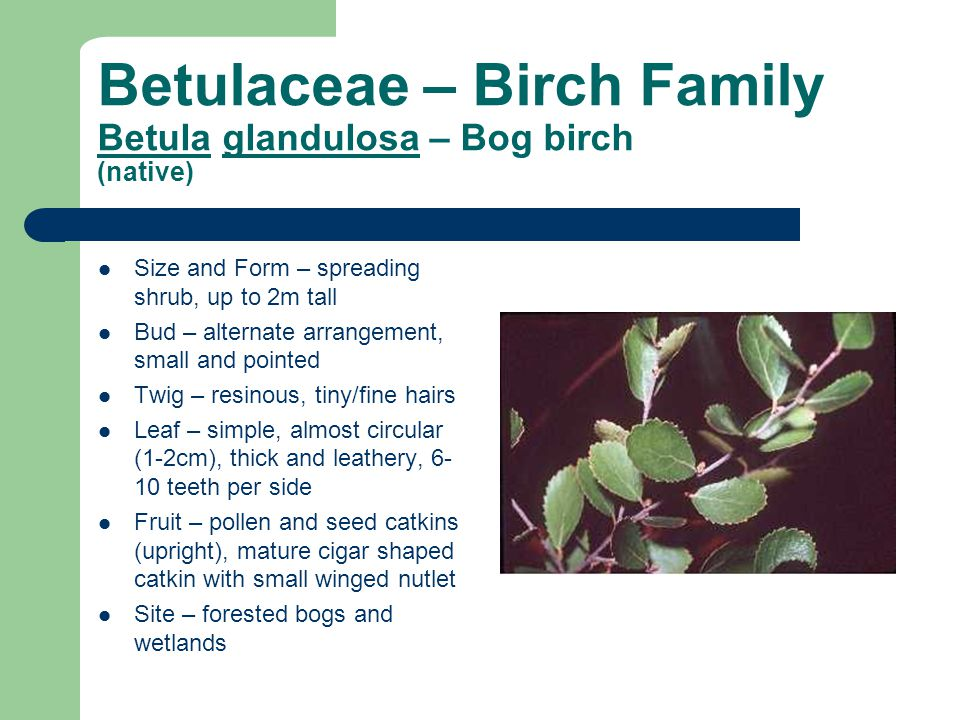Betulaceae – Birch Family Betula glandulosa – Bog birch (native)