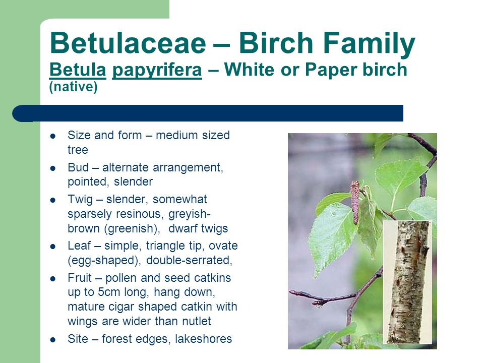 Betulaceae – Birch Family Betula papyrifera – White or Paper birch (native)