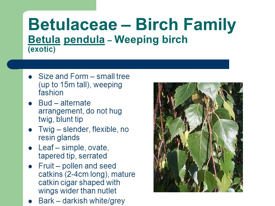 Betulaceae – Birch Family Betula pendula – Weeping birch (exotic)