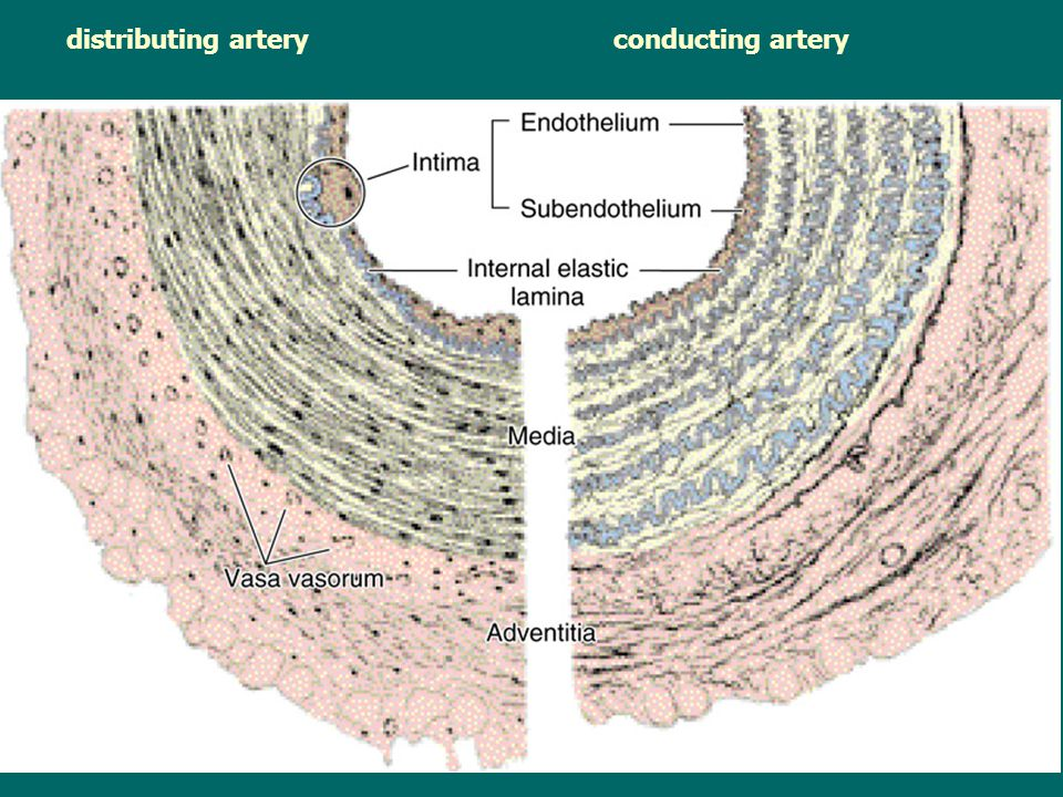 distributing artery conducting artery