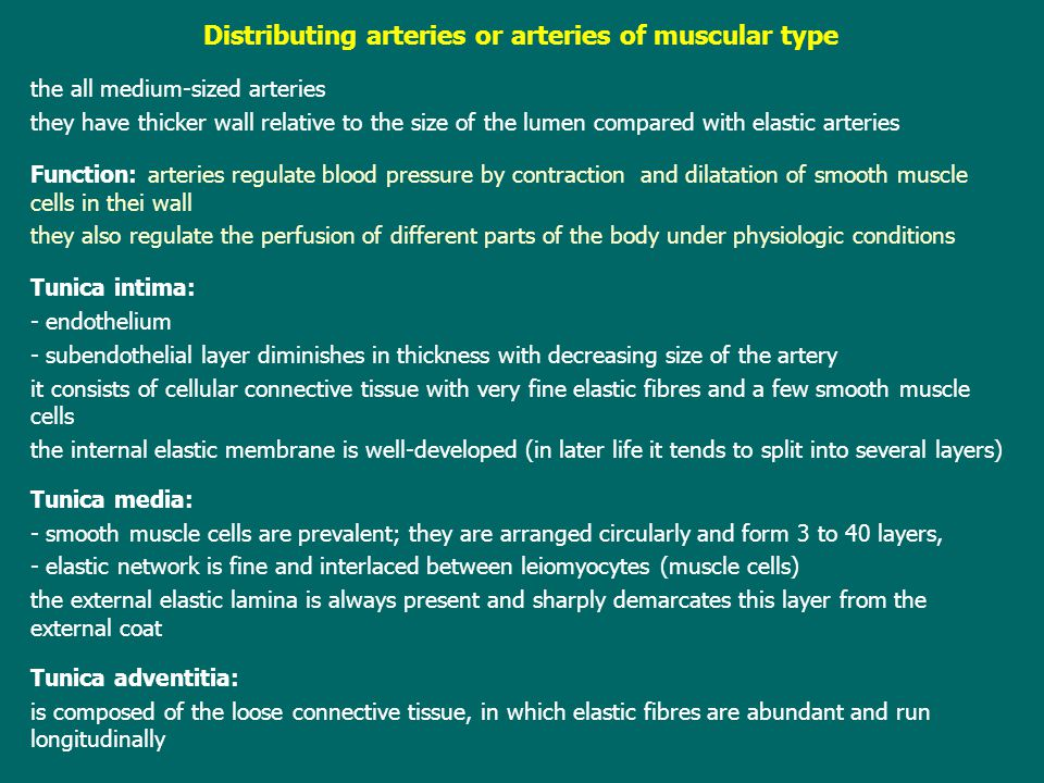 Distributing arteries or arteries of muscular type