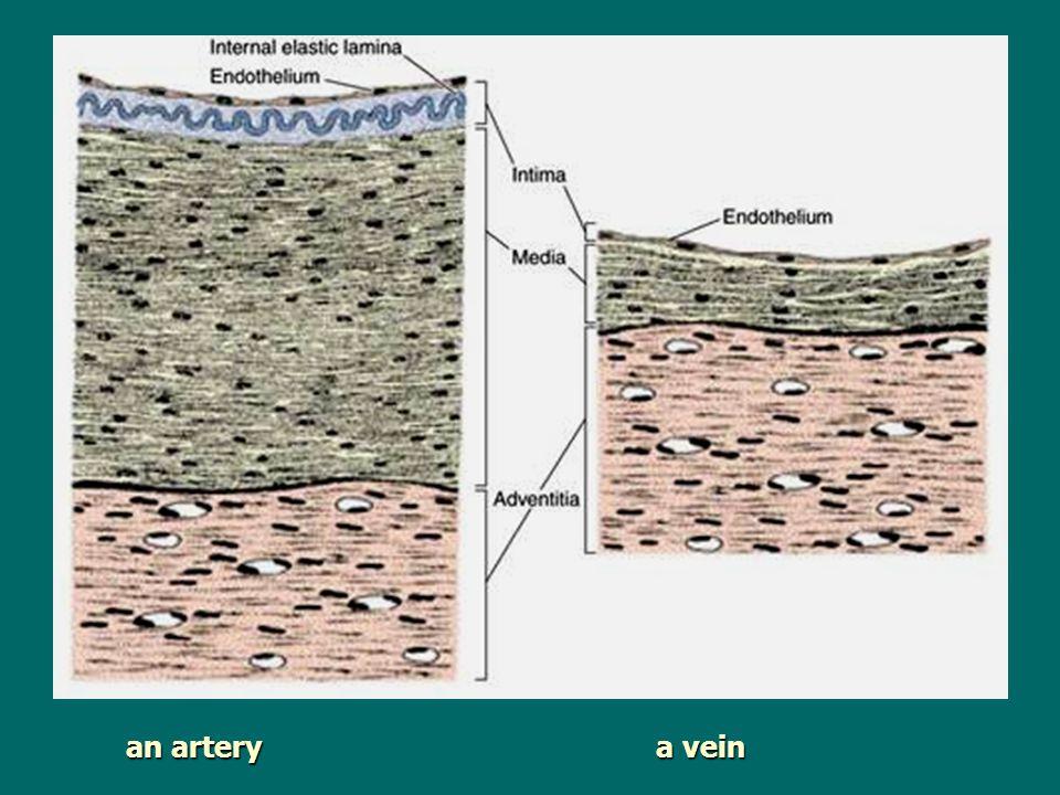 an artery a vein