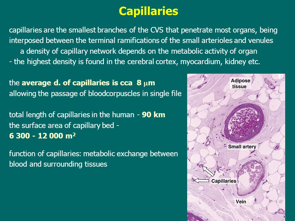Capillaries capillaries are the smallest branches of the CVS that penetrate most organs, being.