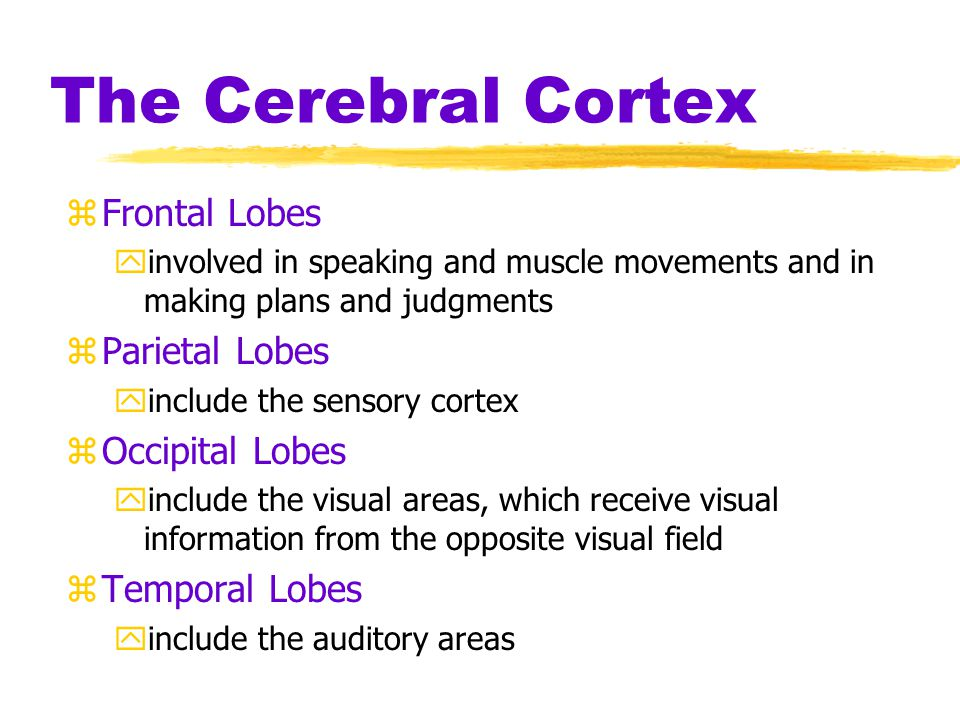 The Cerebral Cortex Frontal Lobes Parietal Lobes Occipital Lobes